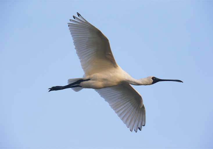 The Black-faced Spoonbill is a charismatic species beloved by birders.
