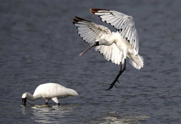 A Black-faced Spoonbill comes in for a water landing. Photo courtesy of the BFSA.