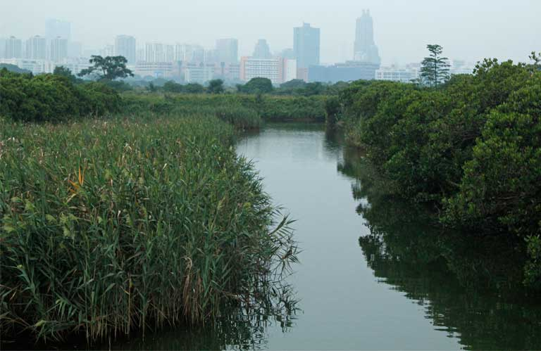 Shenzhen's skyline is visible on the horizon throughout the Mai Po preserve, providing a reminder that a bustling metropolis is never far from spoonbill habitat. Photo by Doug Meigs