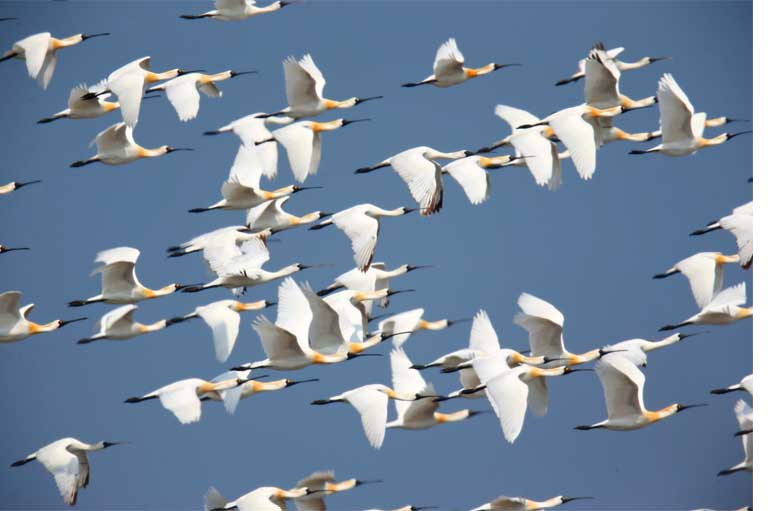 Black-faced Spoonbill numbers have risen from 288 individuals in the 1980's to more than 3,000 today.