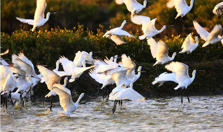 Spoonbills take wing. Photo by Eddie Chang courtesy of the BFSA.