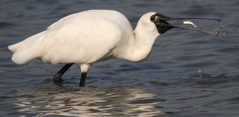 A Black-faced Spoonbill scarfs down a fish or crustacean. Photo by Chung Yun-tak, courtesy of the Hong Kong Bird Watching Society