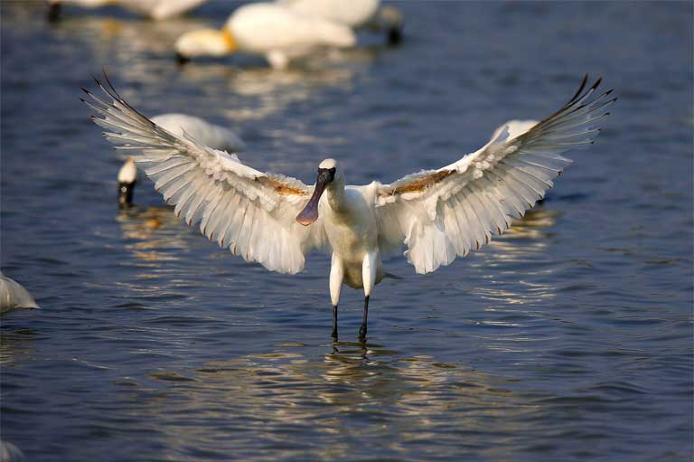 A Black-faced Spoonbill spreads its wings. Photo courtesy of the BFSA
