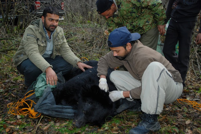 Researchers study a sedated bear in northwest India. Photo by Lalit Sharma.