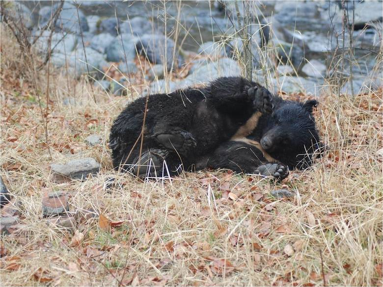 While most Asiatic black bears are indeed black, occasionally brown ones are reported, and there is even a blond population in Southeast Asia. Photo by Lalit Sharma.