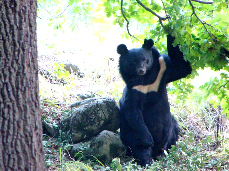 """Asiatic black bears have white """"crescent moons"""" on their chests. Photo by Lalit Sharma."""