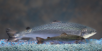 A genetically modified AquAdvantage Salmon, developed by the Massachusetts-based company Aquabounty, dwarfs a non-transgenic Atlantic salmon of the same age. Both fish will reach the same size at maturity but the non-transgenic salmon will take about twice as long to grow, according to the company. Photo by AquaBounty Technologies.