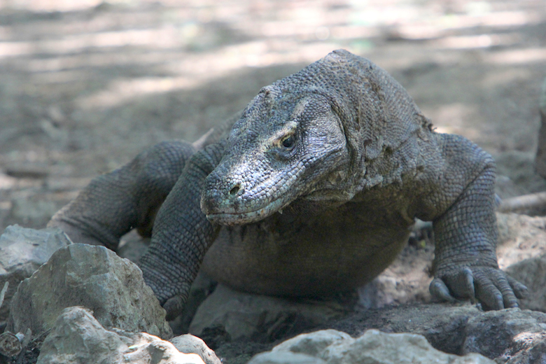 A Komodo dragon visits a waterhole on Komodo Island. Photo by Jeremy Hance.