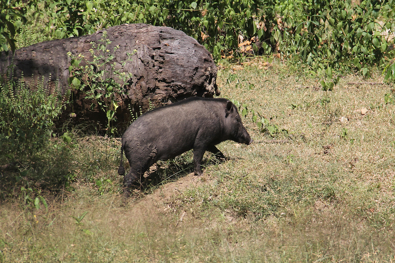 In addition to deer, wild boar is also a favorite prey animal of the dragons. Photo by Jeremy Hance.