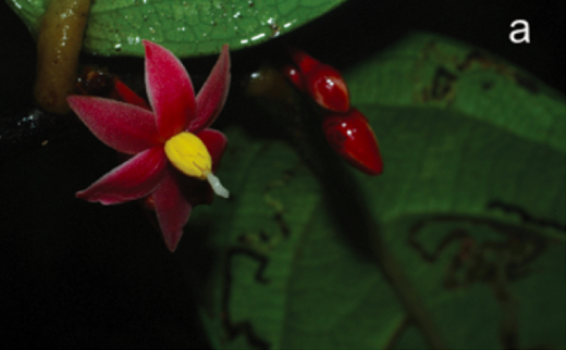 Scientists named an entire genus of plant found in Gabon, Sirdavidia, in honor of Sir David Attenborough. Photo from Couvreur et al 2015.