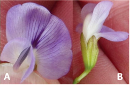 One of the new plant species, Psoralea diturnerae, was named after the citizen science group leader Diane. Photo from Bello et al 2015.