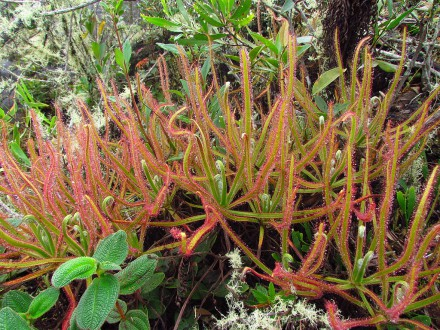 This carnivorous plant was detected only when an amateur botanist posted its photo on Facebook. Photo by Paulo Gonelia| Wikimedia Commons.