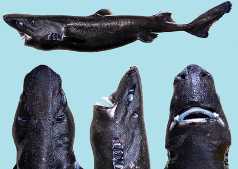 The Ninja Lanternshark grows to a length of about half a meter. Photo courtesy of Vicky Vásquez.