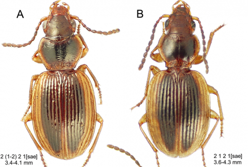 Scientists discovered 74 new species of round-waisted beetles on a single volcano in a Hawaiian Island. Photo from Liebherr, 2015.