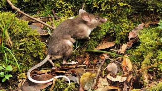 Sulawesi hog-nosed rat, Hyorhinomys stuempkei. Courtesy of Museum Victoria