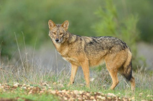 A golden jackal (Canis aureus) from Israel. Based on genomic results, the researchers suggest this animal, the Eurasian golden jackal, is distinct from Canis anthus, which they propose be referred to as the African golden wolf. Photo by Eyal Cohen.