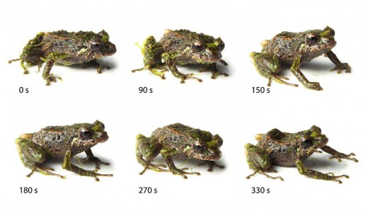 Skin texture variation in one mutable rainfrog (Pritimantis mutabilis), which changes from spiny at 0 seconds to smooth at 330 seconds. Photo courtesy of the Zoological Journal of the Linnean Society.