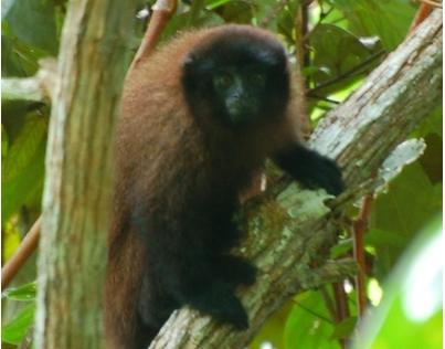 Photograph of the Urubamba brown titi monkey, © Proyecto Mono Tocón