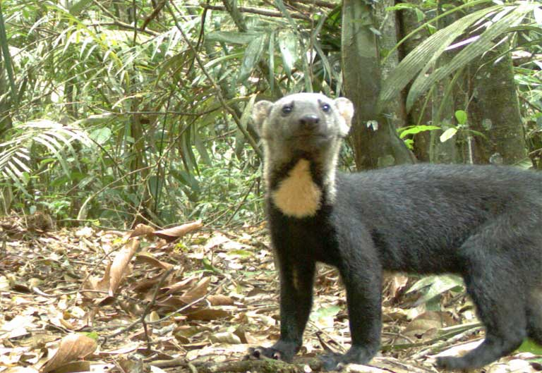The Tayra (Eira barbara), an omnivorous animal from the weasel family, seen on a Babina research camera. The larger the animal, and the smaller the island, the more likely a species' population was to crash. Photo by Maíra Benchimol