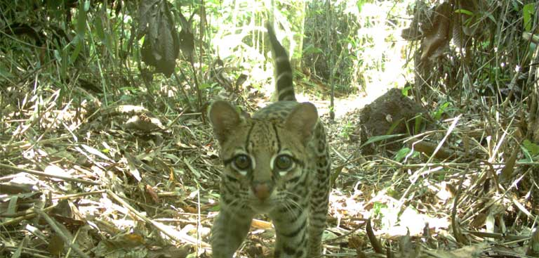 An Ocelot caught on a game camera during research at the Babina dam. Researchers found that cat species did very poorly on the newly created islands. Photo by Maíra Benchimol