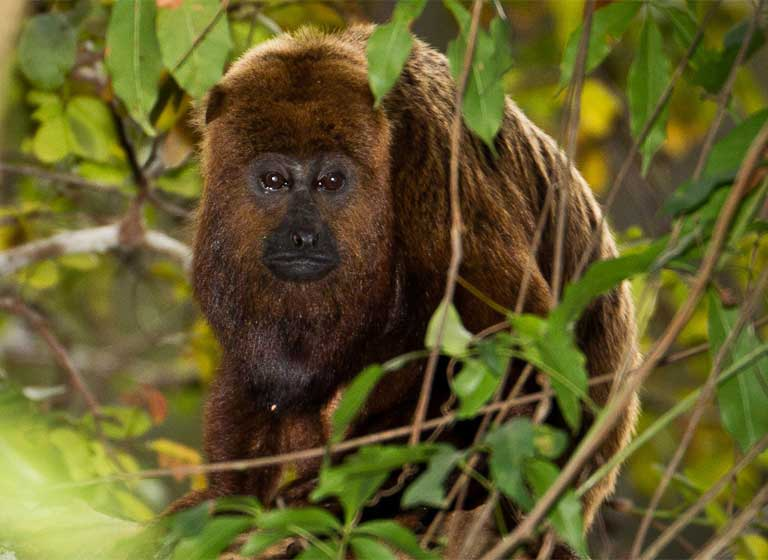 A few adult Howler monkeys survived on Babina reservoir islands, but didn't exist in big enough populations to reproduce. These animals lived out their lives alone, unable to perpetuate their species. Photo by Bart van Dorp licensed under the Creative Commons Attribution 2.0 Generic license