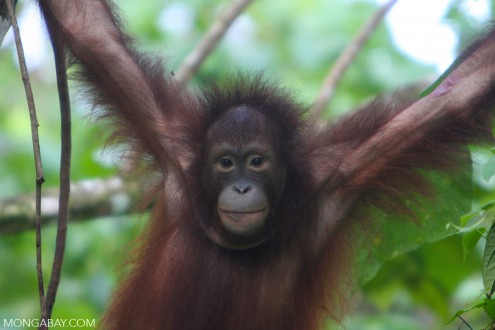 Young orangutan in Sabah, Malaysia. Photo by Rhett A. Butler