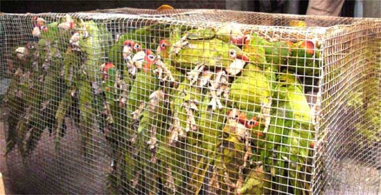 Two hundred parrots were found stuffed into bags while being trafficked through Cochabamba, Bolivia. Kept in such conditions large numbers of parrots don't survive the journey from the wild to the market. Daniel James/ Los Tiempos