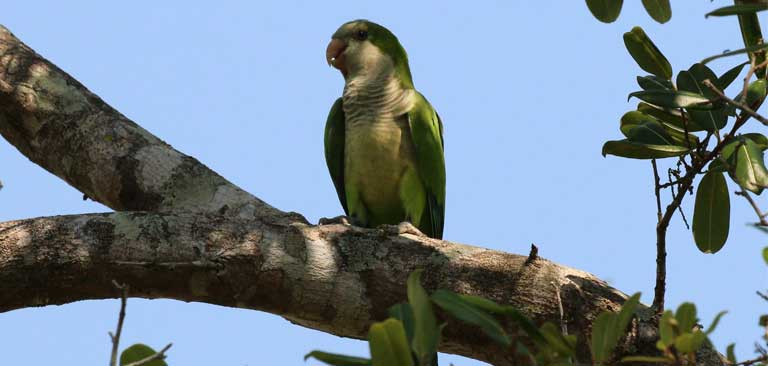 The fairly common Monk Parakeet (Myiopsitta monachus) is trafficked most in the Los Pozos market, followed by the Yellow-chevroned Parakeet (Brotogeris chiriri ) and the Turquoise-fronted Parrot (Amazona aestiva ). All are considered crop pest species. Photo by Charlesjsharp/Wikimedia Commons (CC BY-SA 4.0)