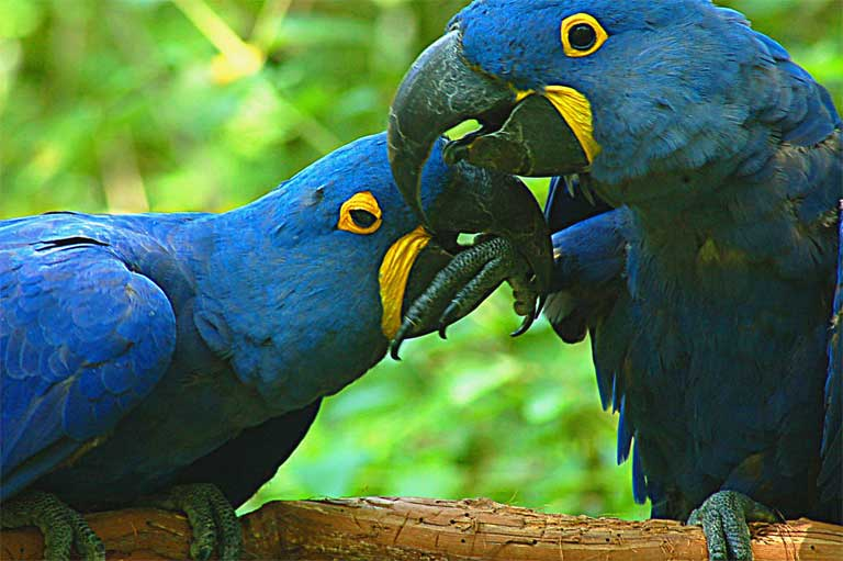 An estimated ten Hyacinth Macaw's were trafficked through Santa Cruz markets between 2004 and 2005, although now the trade in the species has diminished. They are still highly sought after in other Latin American markets and can sell for as much as $1,000 each. Photo by Travis Hightower/ Flickr Creative Commons Share alike 2.0