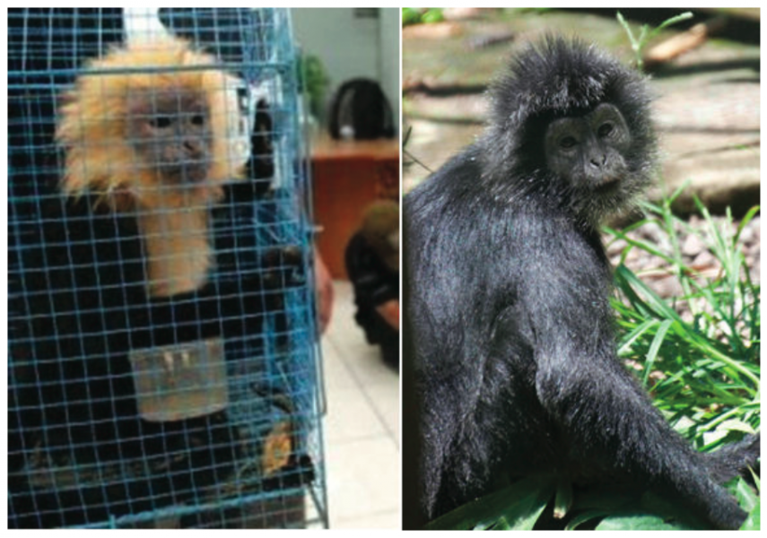 Left: Partially bleached ebony langur Trachypithecus auratus kept in the office of the Indonesian Nature Conservation Agency (BKSDA, Jatim) in Surabaya, after having been confiscated from the Ratu Soerjo bird market in Mantingan, East Java, Indonesia on 6 November 2009. Right: Ebony langur in Bali Zoo, 22 September 2012. Photo courtesy of Nijman 2015.