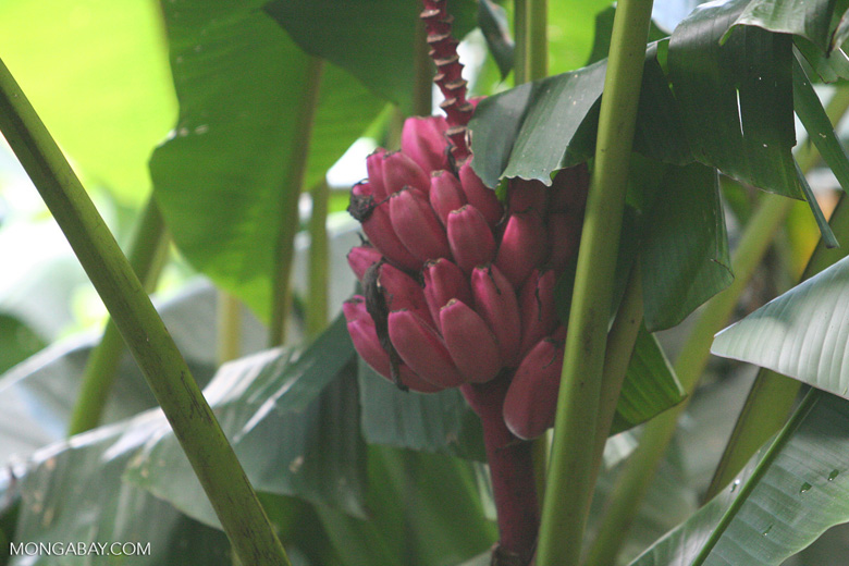 Magenta bananas in Costa Rica. Photo by Rhett Butler.