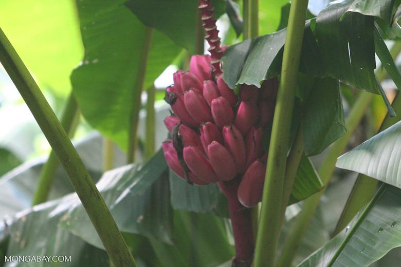 Magenta bananas in Costa Rica. Photo by Rhett Butler.