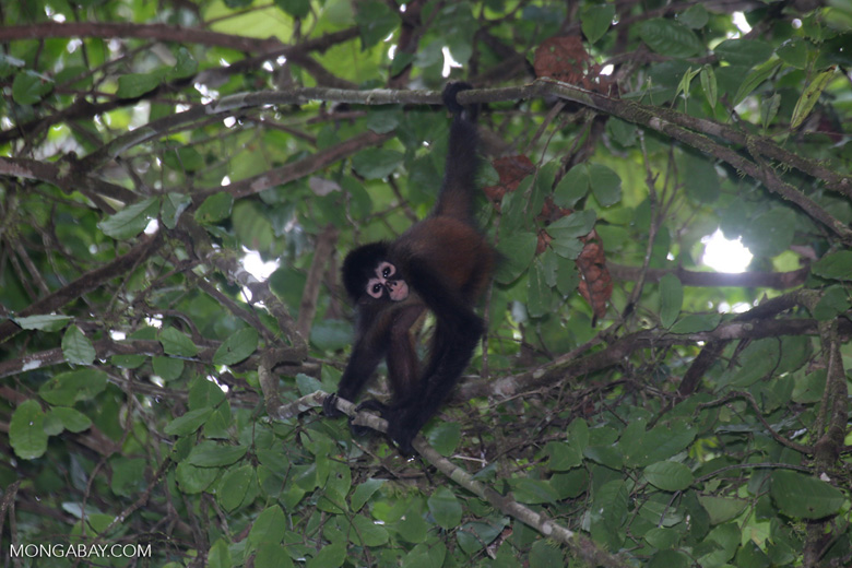 A baby spider monkey in Costa Rica. A spider monkey's diet mainly consist of fruits and nuts. Photo by Rhett Butler.