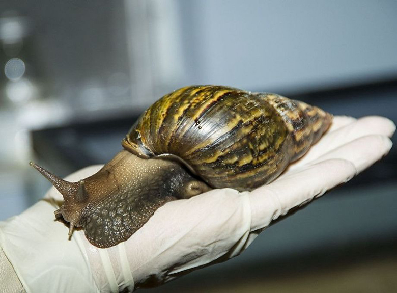 Giant African snail. Photo courtesy of USDA.