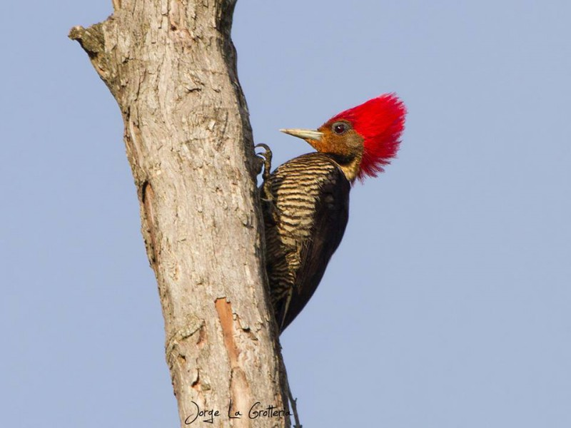 The helmeted woodpecker (Dryocopus galeatus) is listed by the IUCN as Vulnerable, and is endemic to the Atlantic Forest. Photo by Jorge La Grotteria.