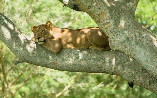 Tree_lion_Cody Pope-Wikimedia commons