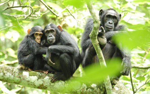 Chimpanzees_in_Uganda_USAID Africa bureau_web