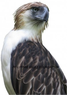 Only about 500 Philippine eagles remain in the wild. Photo courtesy of Philippine Eagle Foundation.