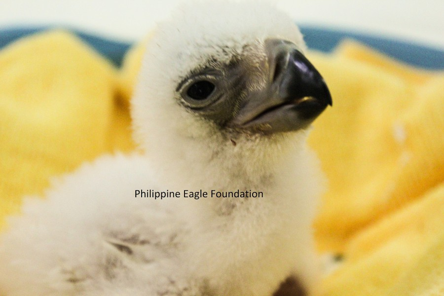 Philippine Eagle chick born in captivity at the Philippine Eagle Foundation's (PEF) conservation center in Caliman, Philippines on December 7. Photo courtesy of the Philippine Eagle Foundation.