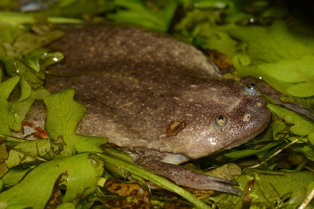 ... of the new species of African clawed frog. Photo by Vacute; Gvocaron