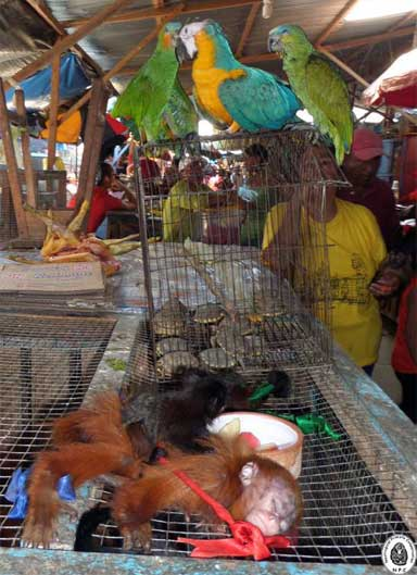 A young and dying red uakari (Cacajao calvus); two young saddleback tamarins (Saguinus fuscicollis); turtles, a blue and yellow macaw (Ara ararauna); two orange-winged Amazon parrots (Amazona amazonica); and a Capuchin monkey (Cebus apella) — all at Bellavista Market, April 2014. Photo courtesy of NPC