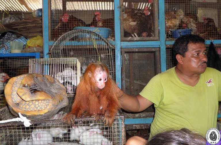A red uakari (Cacajao calvus) and yellow-footed tortoise (Chelonoidis denticulata) for sale at Bellavista Market, April 2014. Photo courtesy of NPC