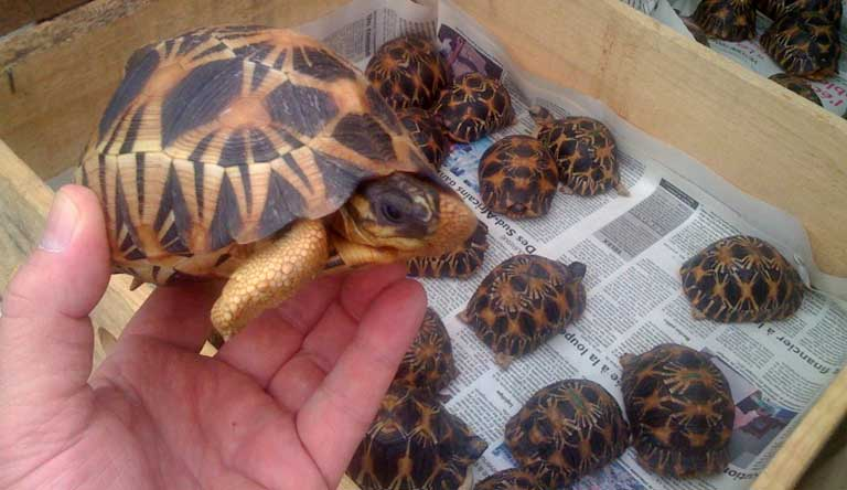 A particularly beautiful juvenile A. radiata. Trafficked tortoises that are confiscated are moved through a triage center and then returned to the wild. Photo courtesy of TSA