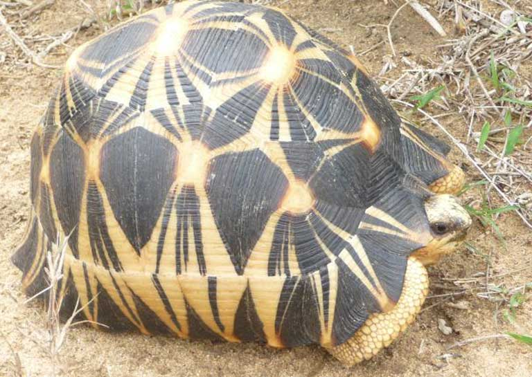 A Stunning Radiated Tortoise individual using the road. Photo courtesy of TSA