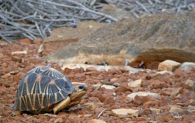 A Radiated Tortoise traverses a barren landscape, an easy target for poachers. Photo by Frank Vassen licensed under the Creative Commons Attribution 2.0 Generic license