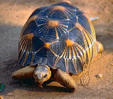 A Radiated Tortoise (Astrochelys radiata). Photo by Bernard Dupont licensed under the Creative Commons-Attribution Share-Alike 2.0-Generic-license