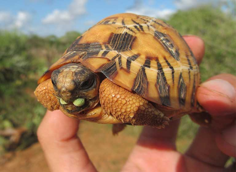 Baby radiata: Juvenile Radiated Tortoises are beautiful, and hence are smuggled out of Madagascar in large numbers for the illegal international pet trade. Photo courtesy of TSA