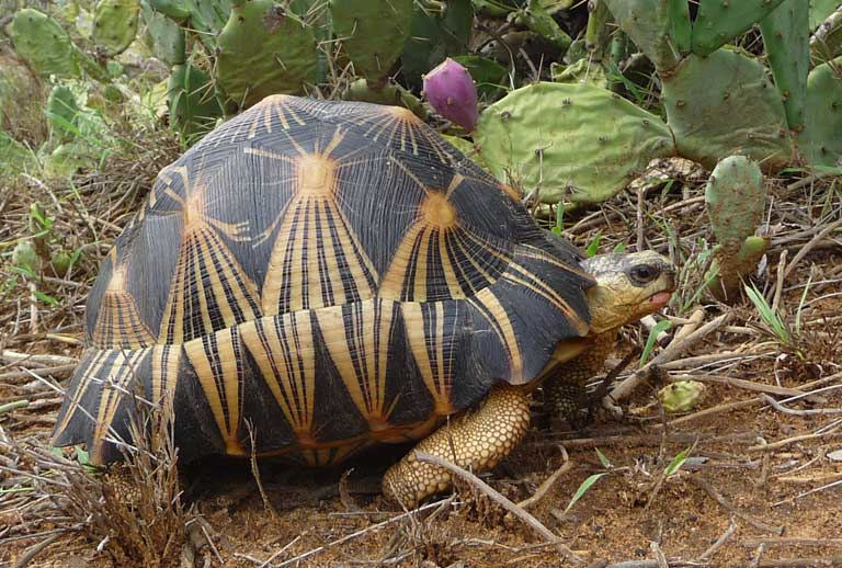 With so much of Madagascar's natural spiny desert forest cleared, Radiated Tortoises now feed heavily on the introduced prickly pear cactus (Opuntia sp). Photo courtesy of the Turtle Survival Alliance (TSA)
