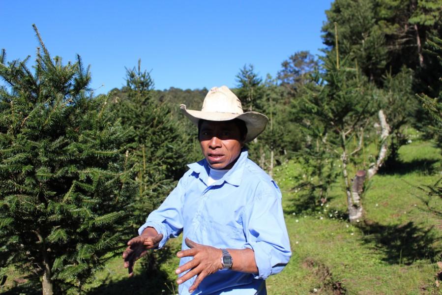 Felipe Lares ha dedicado 22 de sus 48 años de edad a cuidar pinabetes para comercializarlos en época navideña. Cree que son caros, pero justifica que tardan mucho en crecer y son vulnerables a plagas y al cambio climático. Foto de Carlos Chávez.