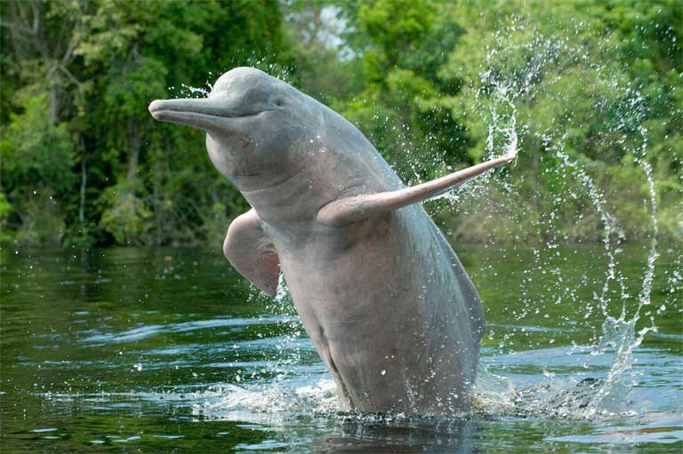The rare sight of an Amazon River Dolphin leaping out of the water. The dolphins are playful and curious, and threatened by hydroelectric dams. Photo © kevinschafer.com